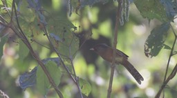 Barwing, Rusty-fronted