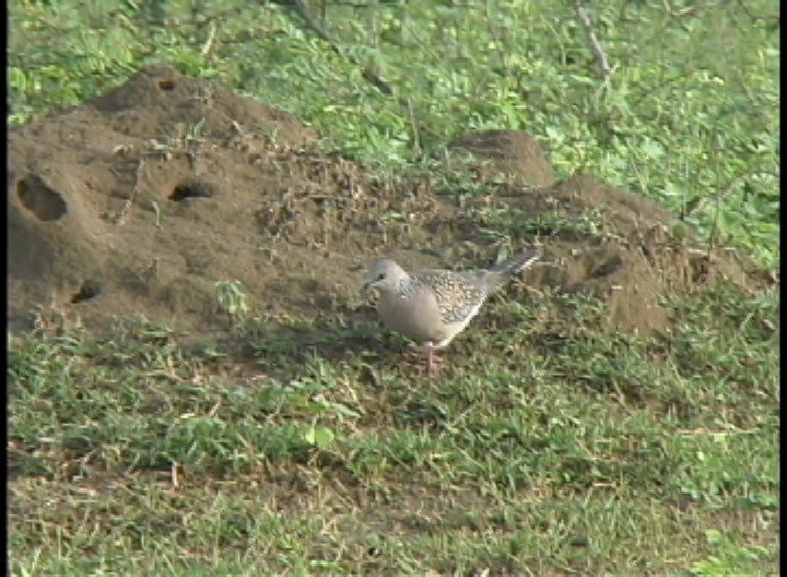 Dove, Spotted 1