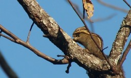 Squirrel, Himalayan Striped
